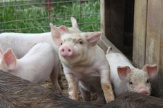 This piglet could possibly be a winner at this year's fair!