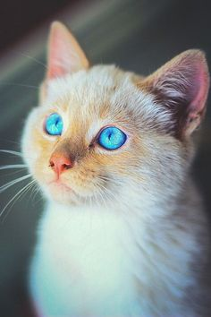 a kitten with such beautiful turquoise eyes I can't stand it.