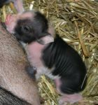 Mini pig. I have to have one!