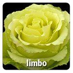 Bright Green /  31 Petals / Head Size  5.0 6.0 cm Exclusive at Berkeley Florist Supply