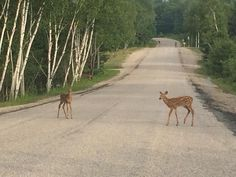 OH DEER! Be careful on the roads out to Mikisew, we have many, many animal friends! Oh Deer, Roads, Ontario, Corgi, Canada, Memories, Park, Twitter, Friends