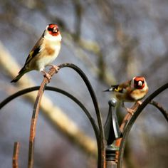 We are glad these guys are back after the storm. #wildlife #goldfinch