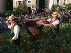 Bringing in the harvest at Clos Montmarte - Paris vineyard behind Sacre Coeur.  Proceeds from the day are given to charity.