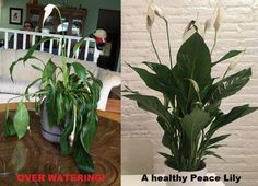 One of the most beautiful house plants in the plant world is the Peace Lily. This article is a guide on how to care for them. One of the most beautiful house plants in the plant world is the Peace Lily. This article is a guide on how to care for them. Peace Lily Indoor, Peace Lily Plant Care, Peace Plant, Lilly Plants, Peace Lillies, Inside Plants, House Plant Care, Indoor Plants, Indoor Flowers