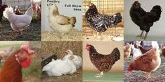 Image result for images of different chicken breeds