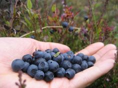 These blueberries can be picked from almost any Finnish forest, and they are really good! #Finland #Nature #Berries