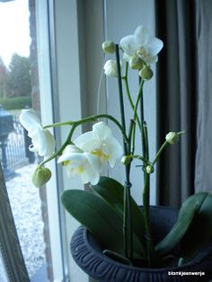 White orchid....beautiful ♥