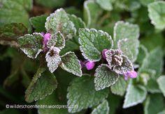 taubnessel, blühend im winter, raureif // wildeschoenheiten.wordpress.com