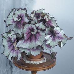 Begonia 'New York Swirl' p.p. (Begonia rex hybrid) - Rex Begonias - Begonias