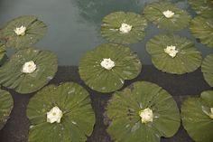 floating lotus