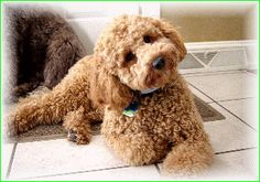 labradoodle..I think Dakota needs a sister!!