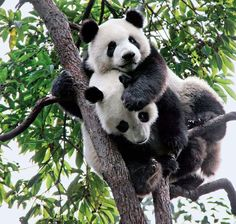 #Panda Back Ride in a tree!
