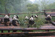 Chengdu Panda Reserve, China