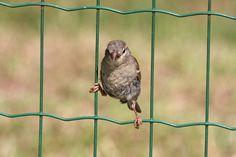 pardal na cerca - Passer domesticus | Flickr – Compartilhamento de fotos!  ave característica do RS
