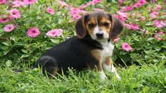 Finding names for girl beagle dogs is not an easy task. Discover best and cute female beagle names of 2020 for puppy. Consistently in the top 10 most popular dog breeds, the Beagle is an...