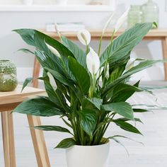 Buy peace lily Spathiphyllum 'Bingo Cupido' - Larger than average flowers and deep green foliage: Delivery by Waitrose Garden Inside Plants, Cool Plants, Potted Plants, Garden Plants, Foliage Plants, House Plants Decor, Plant Decor, Best Indoor Plants, Indoor Garden