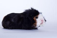 Cute Abyssinian Guinea Pig - looks like he got dipped in dye!