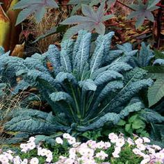 Fall Gardening: Kale Lacinato - Grown in Italy since the 18th century, and at Monticello by Jefferson!