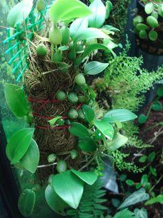 Bulbophyllum membranaceum