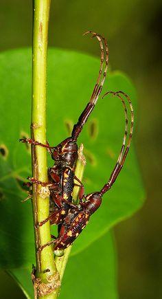 Longhorn Beetles (Paragnia fulvomaculata, Lamiinae, Cerambycidae)