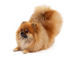 "Pomeranian Bowing-hey that's Luni from ""My Pom Pals""!!!!"