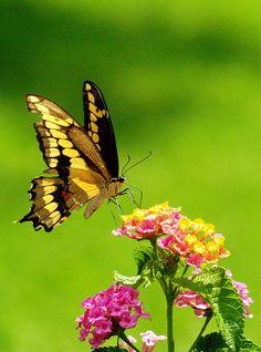 'Delicate' -- swallowtail on lantana