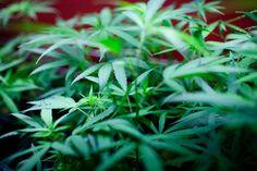 Costa Mesa proposes $50000 licensing fees for medical marijuana firms - 89.3 KPCC