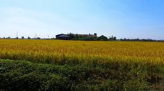 Il #riso di #Milano #metropoli #agricola