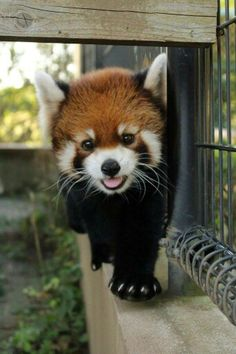 Red panda // I want one ❤️
