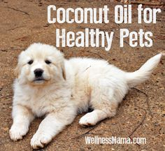 There are many ways to use coconut oil for pets to improve health and soften their coats. Most pets love coconut oil and this is an easy way to add nutrients for pets. It also kills and rids fleas! Shih Tzu, Animals And Pets, Cute Animals, Coconut Oil For Dogs, Coconut Milk, Yorky, Wellness Mama, My Bebe, Oils For Dogs