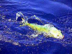 Mahi Mahi, not a dolphin. It's called a dolphin fish.