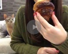 cat really wants croissant, cat wants croissant, cat croissant, croissant cat, cat really wants breakfast, breakfast cat, cat tries to get croissant, cat trying to get croissant, funny cat croissant, cat croissant funny, annoying cat, cat annoying, funny cat, funny cats, funny cat video, funny cat videos, cats funny, funny cats, funny video, funny videos, funny vid, funny vids, funniest video ever, animal video, animal videos, funny animal, funny animals, funniest cat videos 2016, funniest…