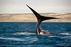 Southern Right Whale watching, Peninsula Valdez Argentina (Patagonia)
