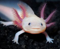 The critically endangered Axolotl (Ambystoma mexicanum) salamander is found living in Lake Xochimilco in central Mexico. Their pink skin, large head and apparent smile give them a disconcerting human appearance. Pink Animals, Cute Animals, Photos Sous-marines, Smiling Fish, Arte Do Kawaii, Underwater Creatures, Mundo Animal, Reptiles And Amphibians, Animals Of The World