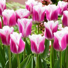 New for 2014: Siesta Tulip at Arts Nursery Ltd