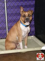 URGENT!!! PENELOPE>>>OHIO>>>473 // Penelope // 6 is an adoptable Boxer Dog in Youngstown, OH. CONTACT: stoohey@mahoningcountyoh.gov  Available: 6/10  All dogs are spayed/neutered before you bring them home. $80 to the vet for ...