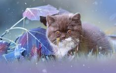 Download wallpapers Persian Cat, cub, fluffy cat, pets, kitten, domestic cats, brown persian kitten, Persian, cats