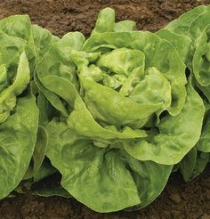 Adriana Lettuce is grown from open pollinated seeds.