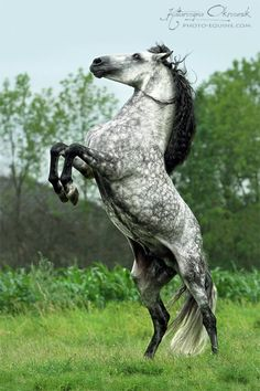 Andalusian stallion by MyohoDane All The Pretty Horses, Beautiful Horses, Animals Beautiful, Cute Animals, Baby Animals, Dapple Grey Horses, White Horses, Gray Horse, Andalusian Horse