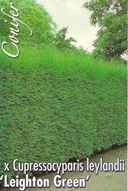 Cupressocyparis leylandii 'Leighton Green' - Google Search