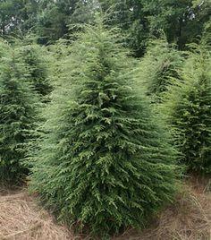 Canadian Hemlock   Garden Plant Evergreen Trees   Chicago Garden Designers