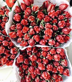 Waiting for spring! In love with these red tulips!! ❤ #fabulousmuses #spring #love #fabuloasele #redtulips #flowers #inspiration #happymood ( shoot by @_pommegranate )