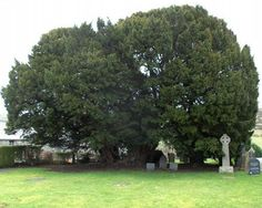 Llangernyw Yew tree resides in a small churchyard in Llangernyw village, North Wales ~ about 4000 years old it was planted sometime in the prehistoric Bronze Age