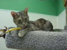 Haven is an adoptable Dilute Tortoiseshell Cat in Pekin, IL. Hi from Haven. I am a darling little tortie girl who is here at the shelter due to some allergies in the family. I am quiet and a bit shy, ...
