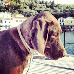 Corfu, Copyright © Ellie Tsatsou Corfu, Labrador Retriever, Pitbulls, Dogs, Animals, Labrador Retrievers, Animales, Pit Bulls, Animaux