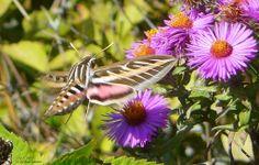 The Hummingbird Moth