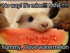 Guinea pig eating watermelon!