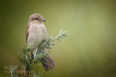 Red-backed shrike by as-berlin via http://ift.tt/29MtrUz