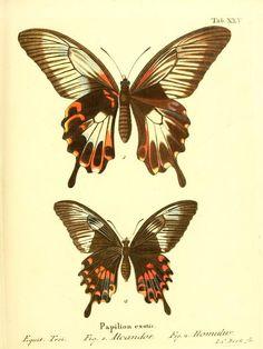 v.2 [plates] (1830) - Die ausländischen Schmetterlinge in Abbildungen nach der Natur / - Biodiversity Heritage Library