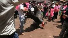 Each year high up in the Peruvian Andes, people celebrate the sacred condor in dozens of celebrations known as Yawar fiestas. These festivals are also threatening the last few hundred condors left in Peru because the birds are incorporated into bull fights in a fusion of Incan culture and Spanish colonial influence.